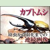 ■カブトムシ